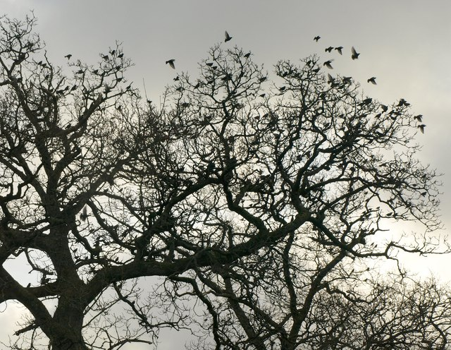Starlings, Ashbury