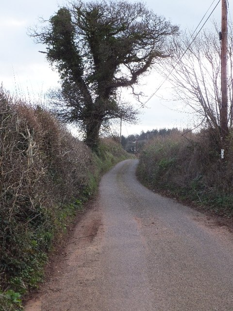 Ivy covered tree on minor road to Oak Farm