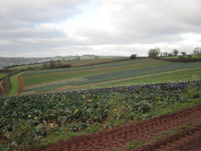 Colourful Strips of Brassicas from Forches Hill