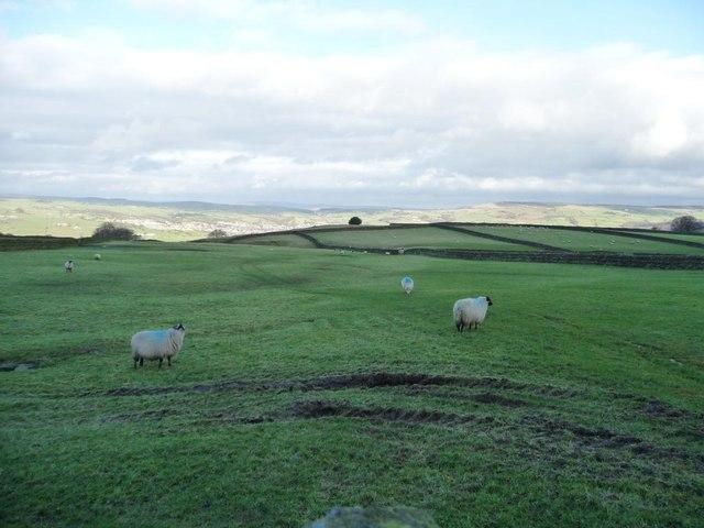 Sheep grazing on Steeton Moor [1]