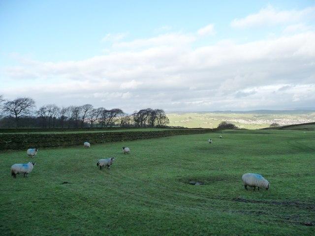 Sheep grazing on Steeton Moor [2]