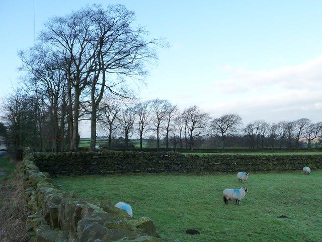 Trees lining Redcar Lane near White Field Farm