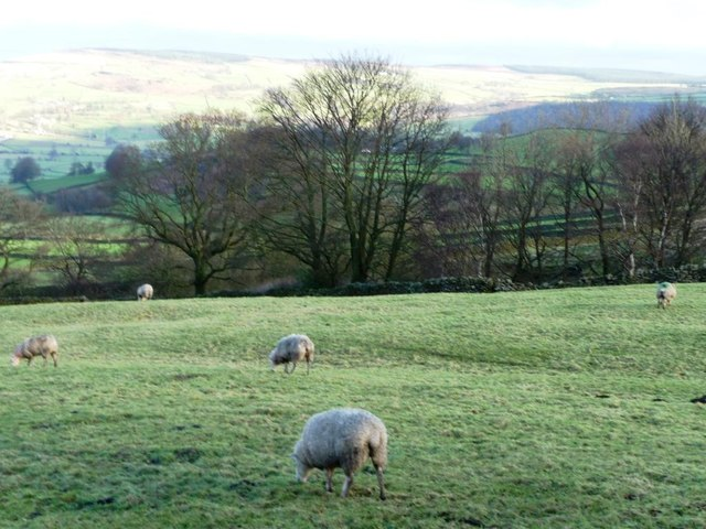 Sheep grazing high above the Aire Valley