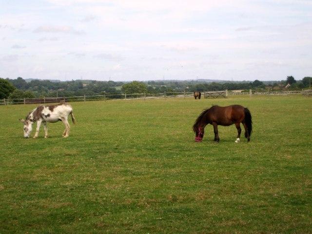 Ponies grazing, Raystede Animal Sanctuary near Ringmer