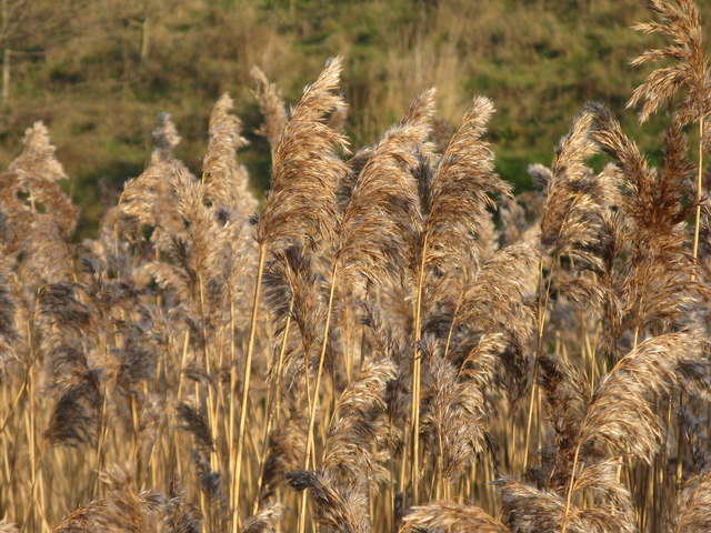 Bulrushes blowing