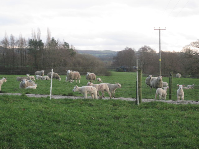 These lambs are early in Cheshire