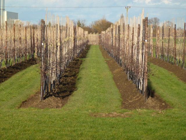 New orchard off Redmoor Lane near Begdale, Wisbech