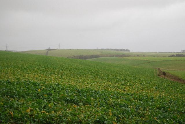 Turnip field
