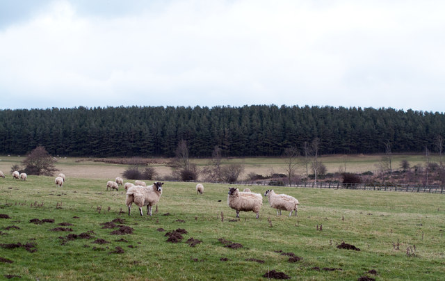 Birkenside Wood over field with sheep