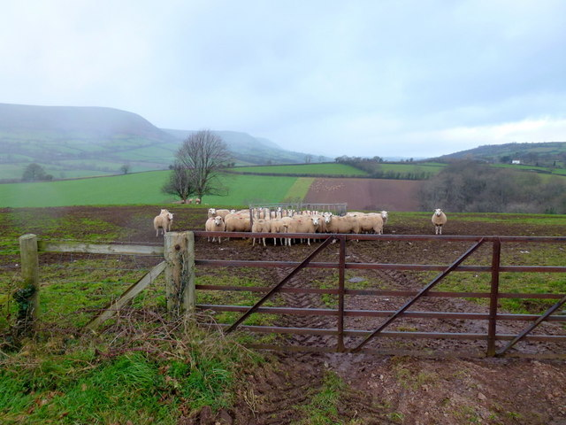 Sheep pasture in January