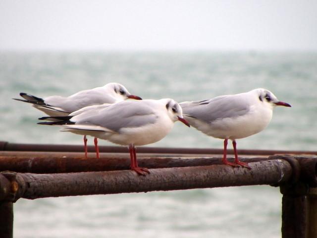 Miserable gulls, Boscombe