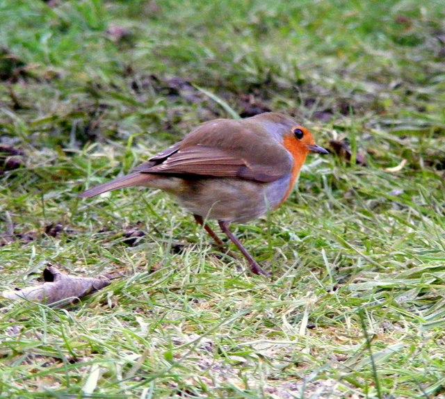 A Robin at Lossiemouth