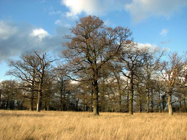 Bare oaks in Elbow Wood, Burstall
