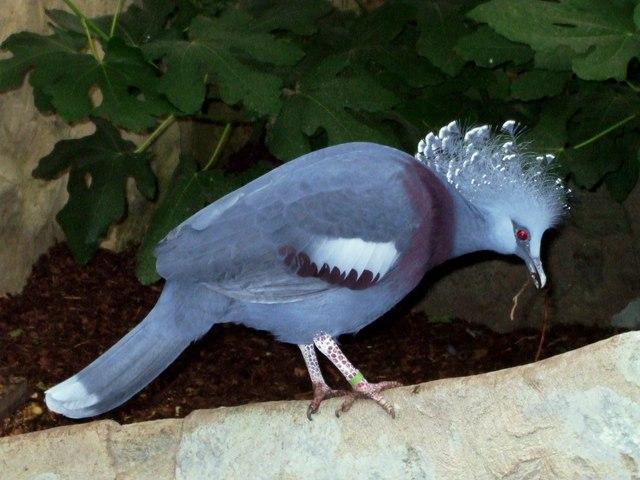 Crowned Pigeon, Rare Species Conservation Centre, Sandwich