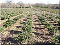 TQ0541 : Christmas Tree Plantation by Colin Smith