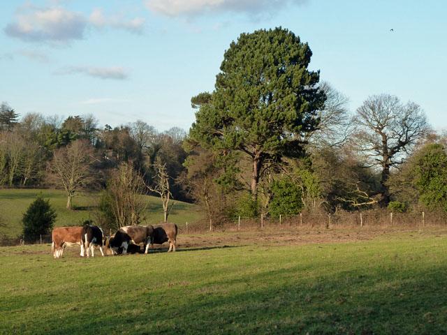 Cattle near Chislehurst