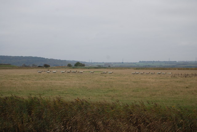Sheep, Cooling Marshes