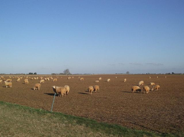 Field of sheep near Alvescot Downs Farm