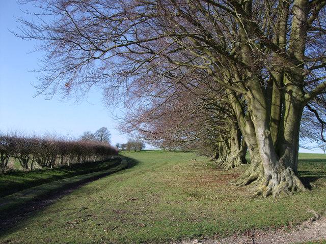 Beech trees near Giant's Grave
