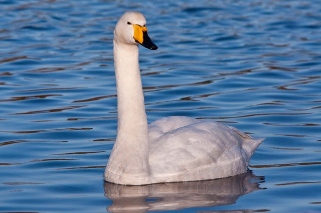 Whooper Swan - Cosmeston Lakes Country Park