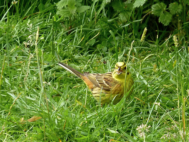 Yellowhammer ground-feeding in Cwm Doethie Fawr, Ceredigion
