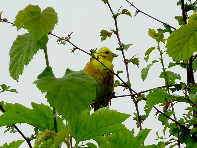 Yellowhammer on a hedge in Cwm Doethie Fawr, Ceredigion