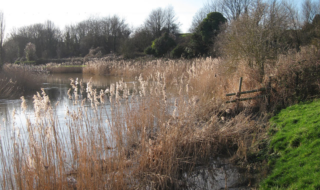 Reeds on the River Stour