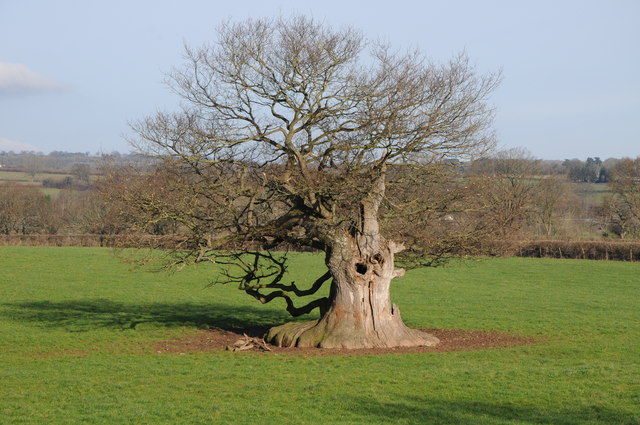 A once mighty oak