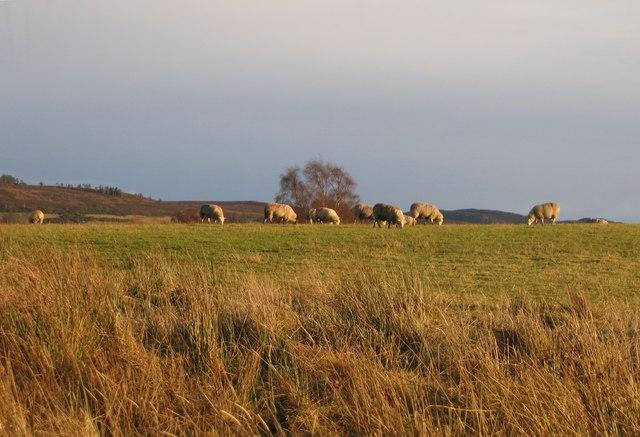 Sheep grazing, near Clunes