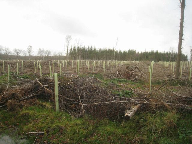 New oak trees - Sandford Wood