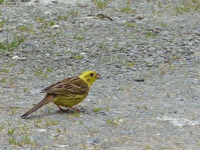 Yellowhammer ground-feeding in Cwm Doethie Fawr, Ceredigion