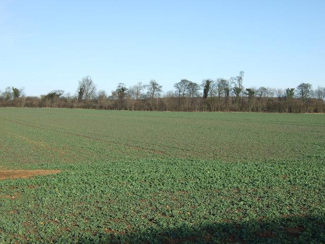 Crop field off Stocking Lane