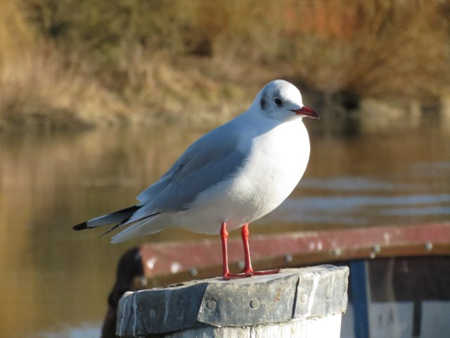 Gull by the River Stour