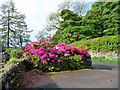 NY4103 : Rhododendrons and Azaleas at Troutbeck, Cumbria by Christine Matthews