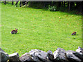 NY4103 : Rabbits, Troutbeck, Cumbria by Christine Matthews