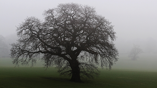 Oak tree in North Field
