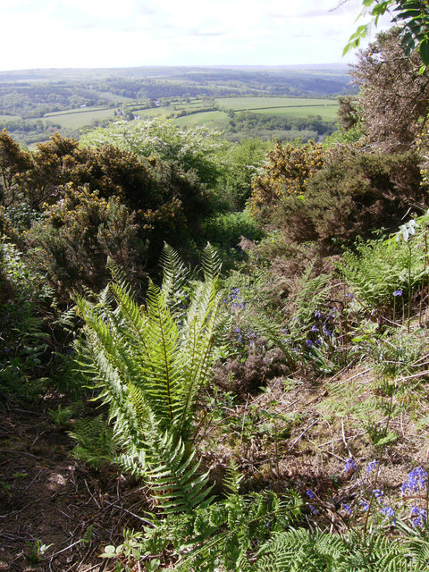 Gorse, ferns and bluebells