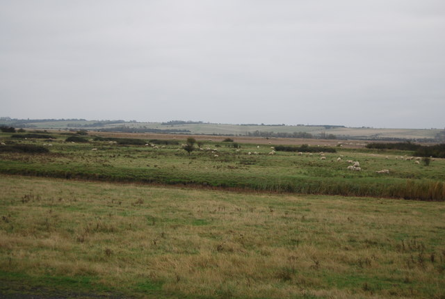 Sheep grazing, Halstow Marshes