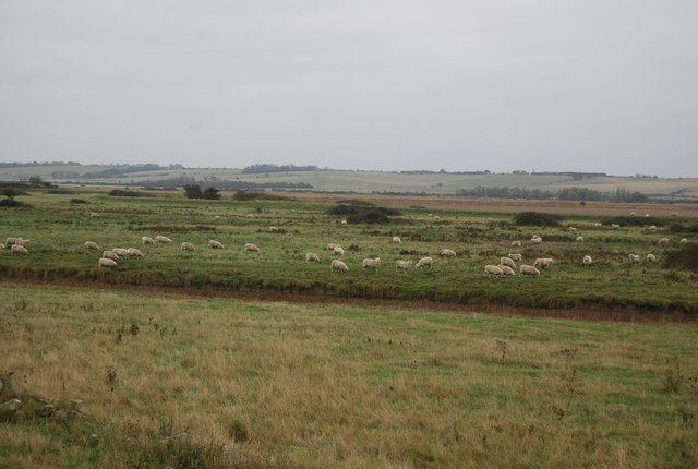 Sheep, Halstow Marshes