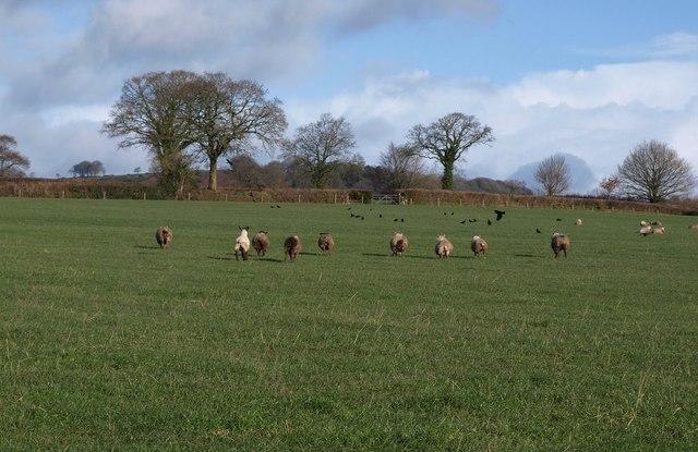 Sheep near Awliscombe