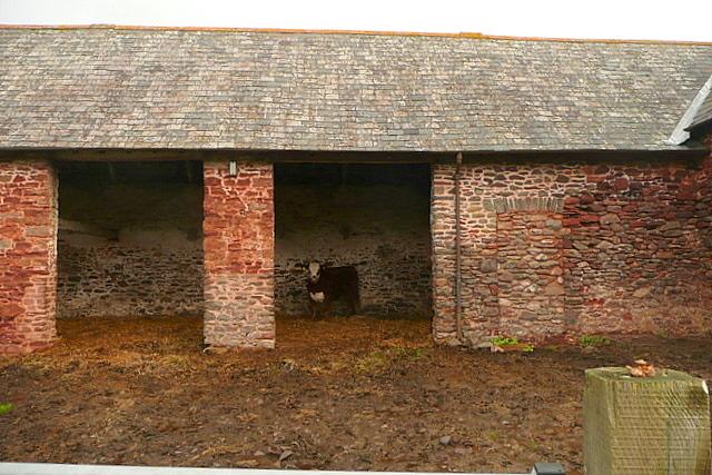 Calf at Brandish Street Farm