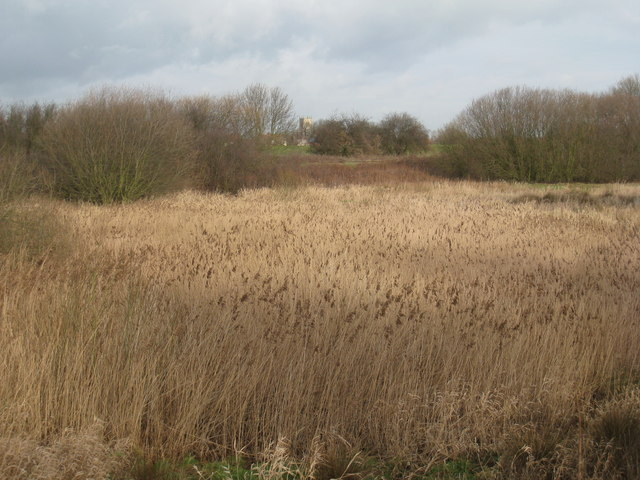 Reed beds by the canal