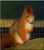 TQ3643 : 'Napoleon' Squirrel by Peter Trimming