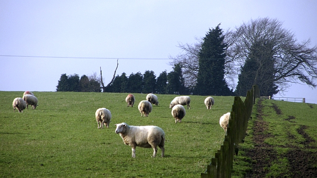 Sheep and fence, Bandrum