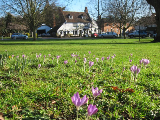 Crocuses on Wickhambreaux village green