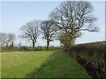 SJ4607 : Shropshire oaks by Richard Law