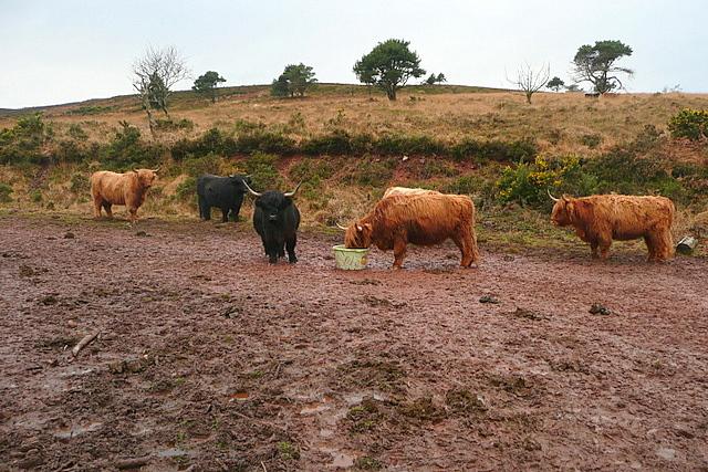 Cattle above Gupworthy Farm