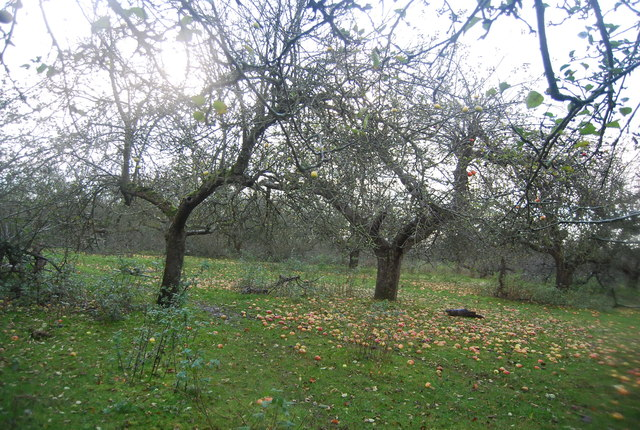 Windfalls in an apple orchard