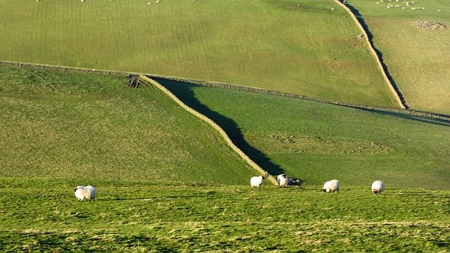 Sheep, Fowie