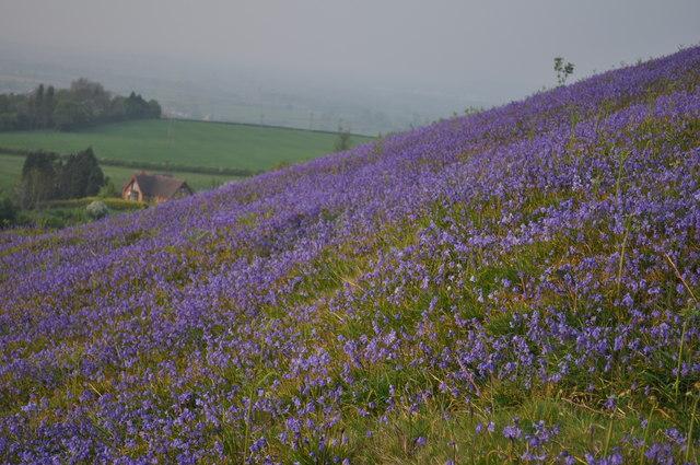 Bluebells on Cam Peak
